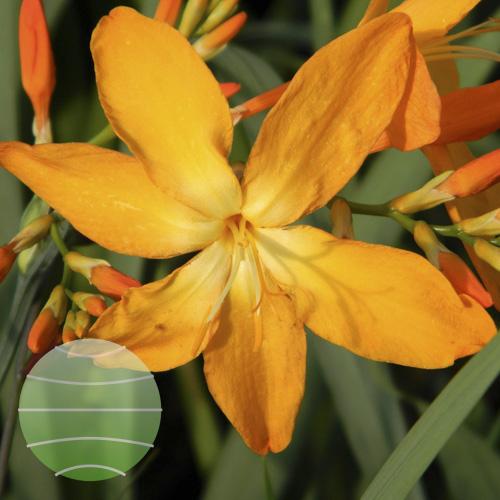 Walter Blom Plants Crocosmia Disco Dancer