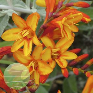 Walter Blom Plants Crocosmia Fire Jumper