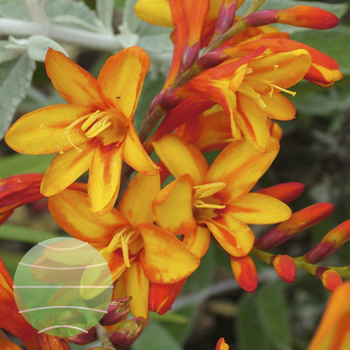 Walter Blom Plants Crocosmia Fire Jumper