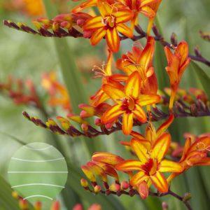 Walter Blom Plants Crocosmia Firestars Firestarter