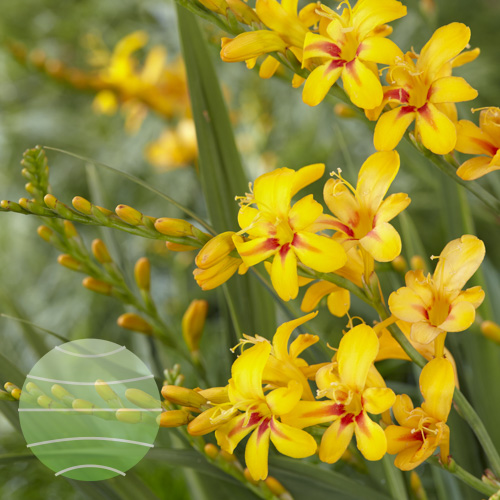 Walter Blom Plants Crocosmia Firestars Hot Spot