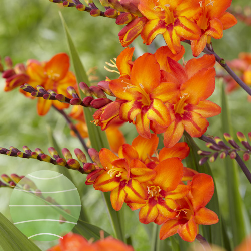 Crocosmia Firestars Scorchio
