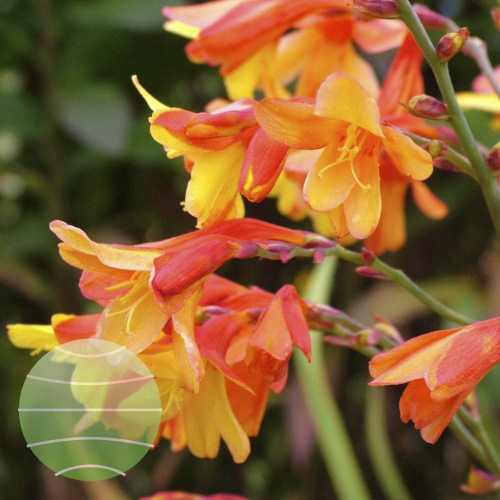 Crocosmia Harlequin flower group close (18 of 39)