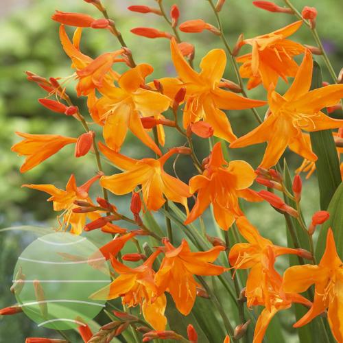 Walter Blom Plants Crocosmia Star of the East