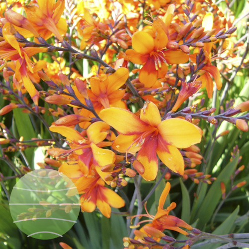 Walter Blom Plants Crocosmia Walberton Bright Eyes