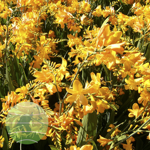 Crocosmia Walberton Yellow 02