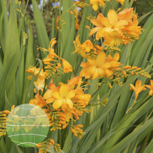 Crocosmia Walbertons Yellow 2017