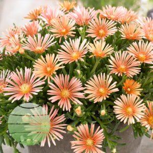 Walter Blom Plants Delosperma Alans Apricot