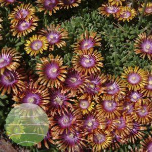 Walter Blom Plants Delosperma Fire Spinner