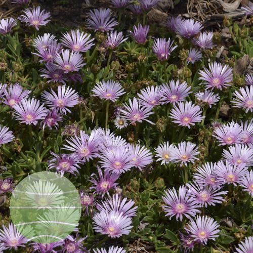 Walter Blom Plants Delosperma Lavender Ice