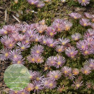 Walter Blom Plants Delosperma Mesa Verde