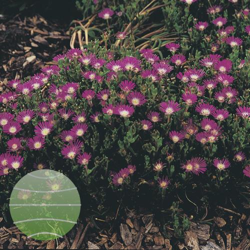 Walter Blom Plants Delosperma Star Burst