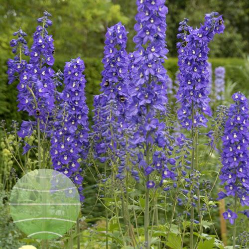 Walter Blom Plants Delphinium Blue Nile