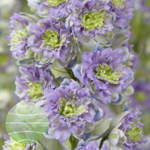 Walter Blom Plants Delphinium Highlander Blueberry Pie