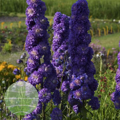 Walter Blom Plants Delphinium Highlander Bolero