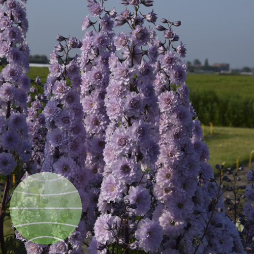 Walter Blom Plants Delphinium Highlander Cha Cha