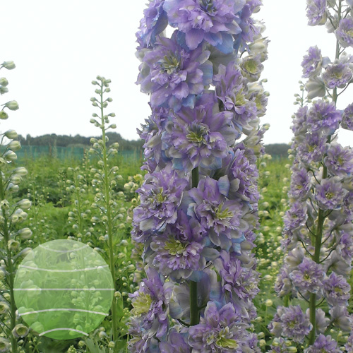 Walter Blom Plants Delphinium Highlander Crystal Delight