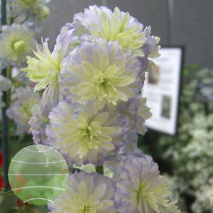 Walter Blom Plants Delphinium Highlander Moonlight