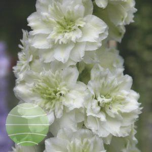 Walter Blom Plants Delphinium Highlander Morning Sunrise