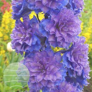Walter Blom Plants Delphinium Highlander Sweet Sensation