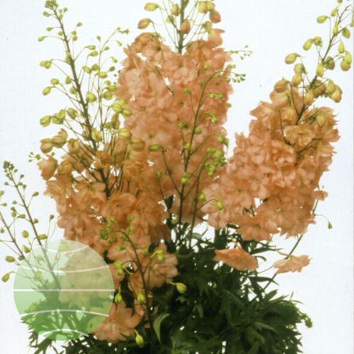 Walter Blom Plants Delphinium Princess Caroline