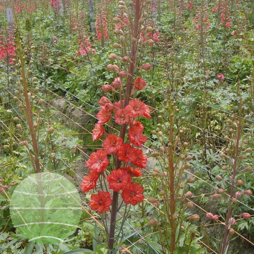 Walter Blom Plants Delphinium Red Caroline