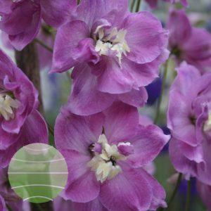 Walter Blom Plants Delphinium Strawberry Fair