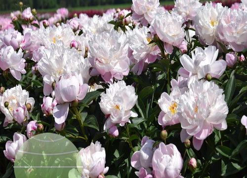 Visit to Paeonia growers