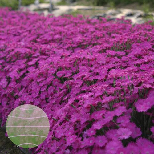 Dianthus dianturi Twinkle 02