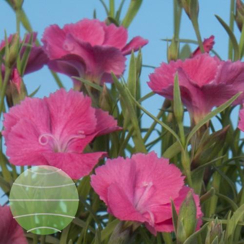 Walter Blom Plants Dianthus dianturi Twinkle
