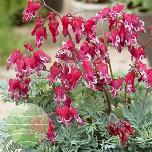 Dicentra Burning Hearts 218126