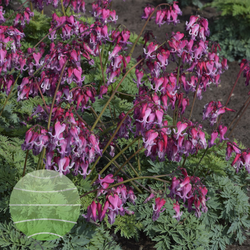 Dicentra Candy Hearts 4