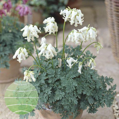 Walter Blom Plants Dicentra Ivory Hearts