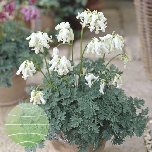 Walter Blom Plants Dicentra Ivory Hearts