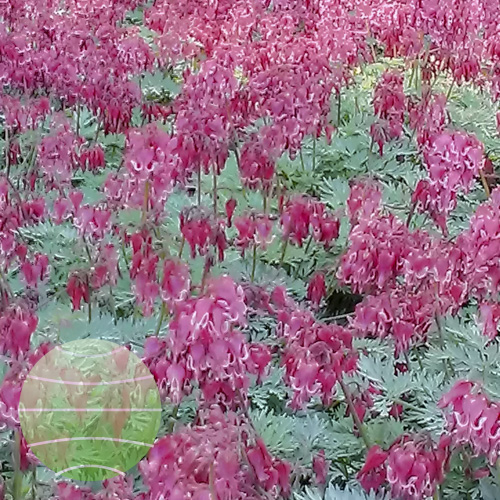 Dicentra Red Fountain 2013-08-16 2