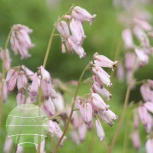 Walter Blom Plants Dicentra Spring Magic