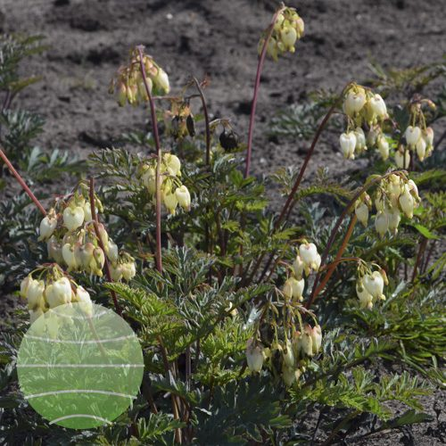 Walter Blom Plants Dicentra Sulpur Hearts