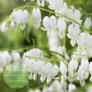 Walter Blom Plants Dicentra Alba