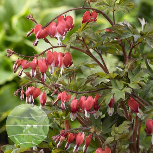 Walter Blom Plants Dicentra
