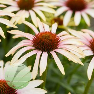 Walter Blom Plants Echinacea Blushing Meadow Mama