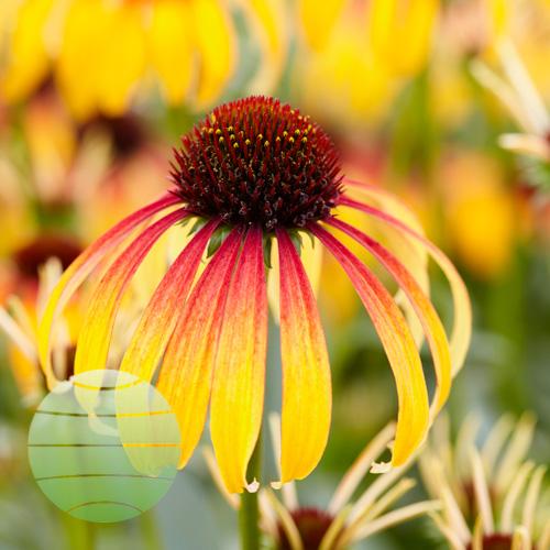 Walter Blom Plants Echinacea Fiery Meadow Mama