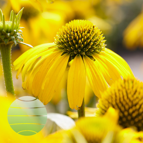 Walter Blom Plants Echinacea Sunny Meadow Mama