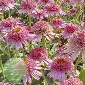 Walter Blom Plants Echinacea Butterfly Kisses