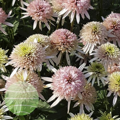 Walter Blom Plants Echinacea Cherry Fluff