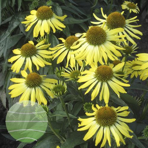 Walter Blom Plants Echinacea Cleopatra