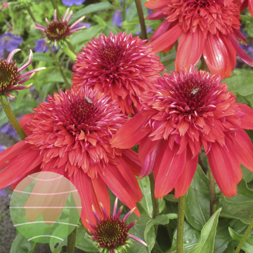 Walter Blom Plants Echinacea Eccentric
