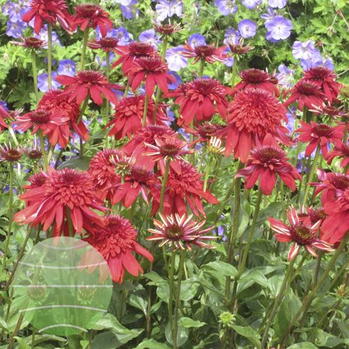 Echinacea p Eccentric 2012-07-11 3