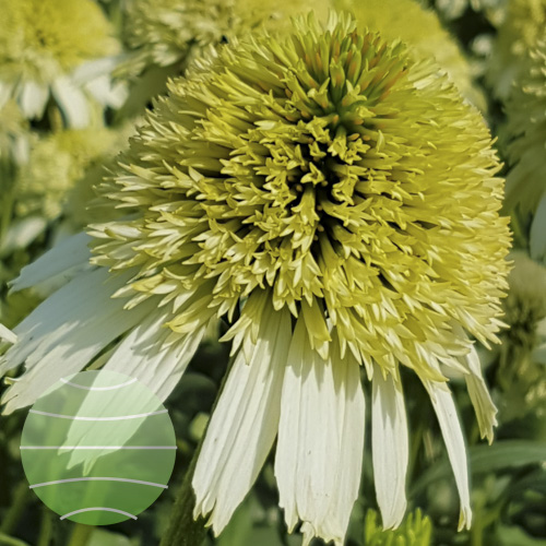 Echinacea p Honeydew 20160921 03