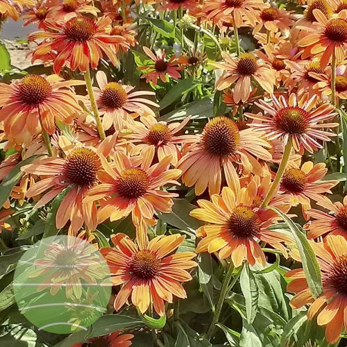 Echinacea p Julia 2013-08-16 4
