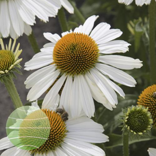 Echinacea p Meditation White part2_1